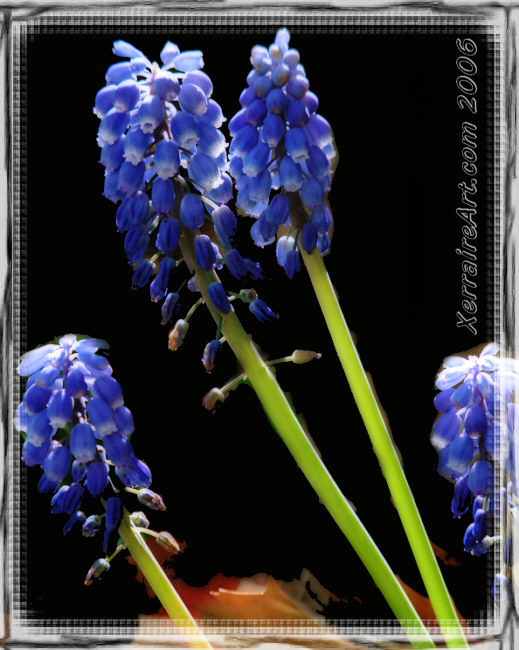 grape hyacinthds
