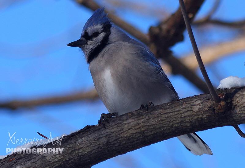 blue jay bird in a tree