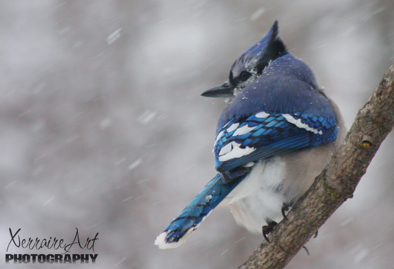 Blue Jay in a blizzard