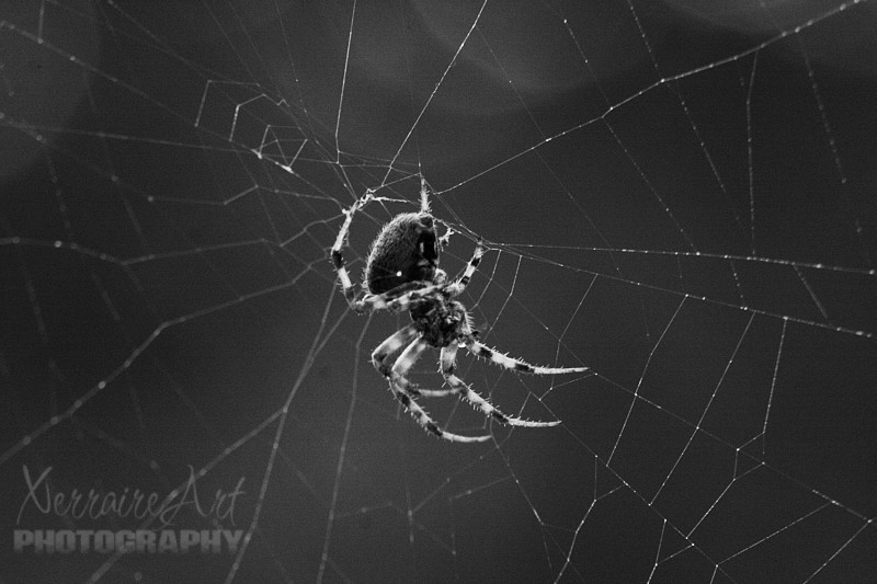 Spider in the Backyard