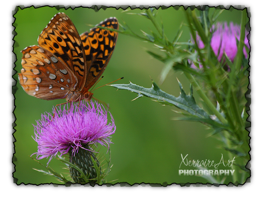 GreatSpangledFritillarythistle