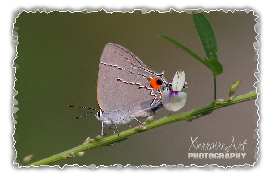 Grey Hairstreak butterfly in Maryland