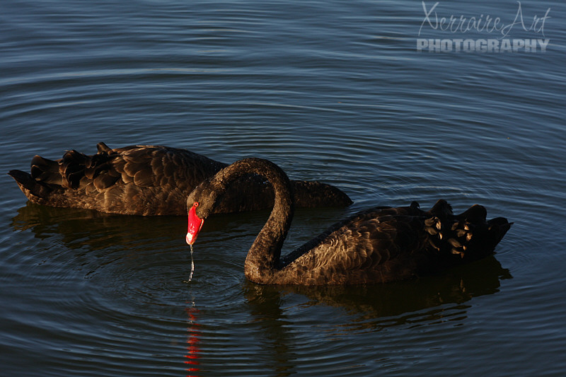 Black Swans of Lake Monger