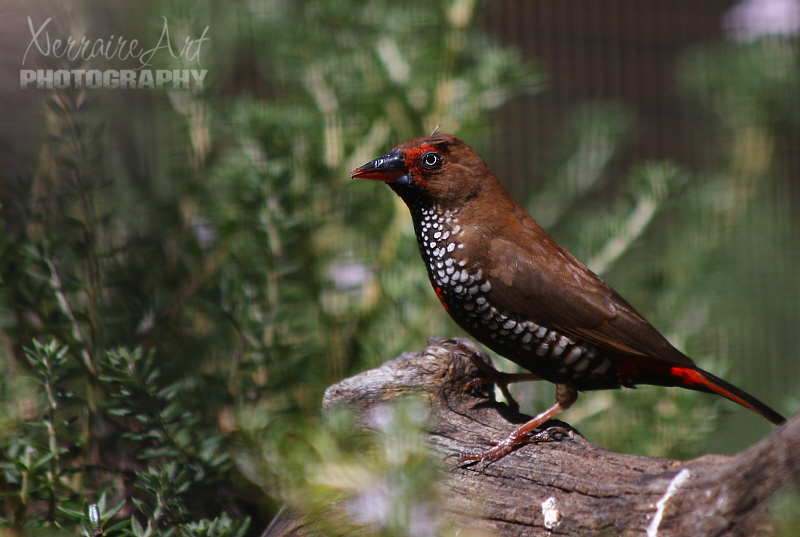 paintedfinch