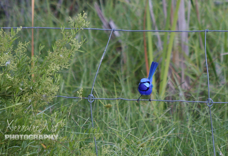 Blue fairy wren at Lake Joondalup