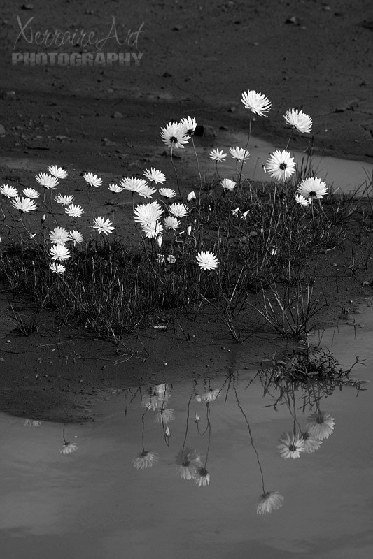 Everlasting daisies reflected in black and white