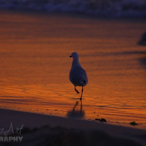 gull at the beach at sunset