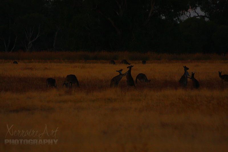 kangaroosatwhitemanpark