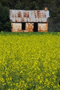 Canola Field and Old House